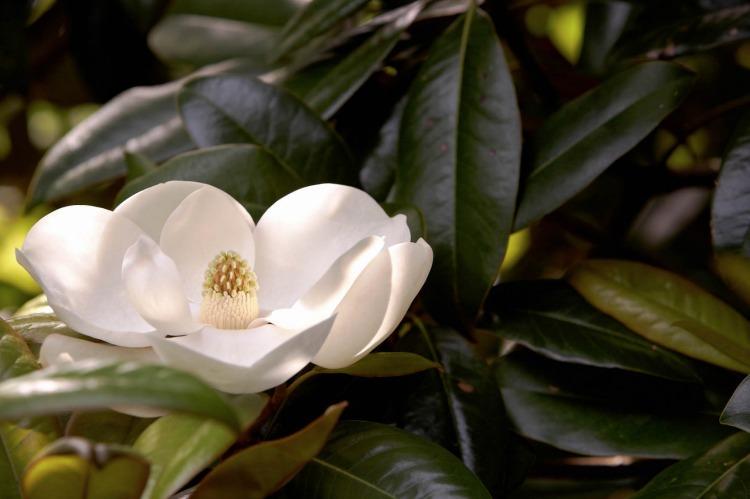 Southern magnolia blossom